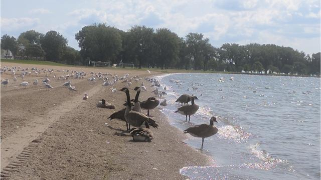 One of the culprits for Lake St. Clair's beach closings: The birds