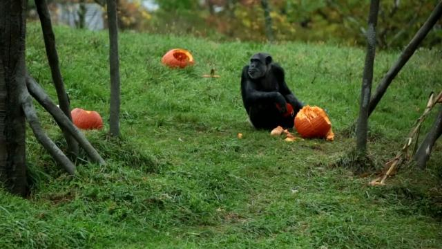 Watch Detroit Zoo animals play with pumpkins