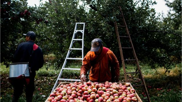 Growers in Sparta, Mich. talk about the what migrants mean to the apple growing industry, and what the industry means to the migrants.