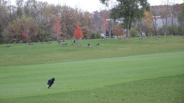 Chris Compton, of Holy, and founder of Goose Busters, works with his 3-year-old border collie Ellee to chase geese from businesses that include golf courses.