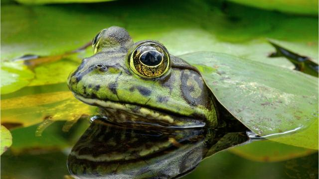 Michigan's shrinking wetlands have put a crimp on the frog population, which has had to adjust their habitat.