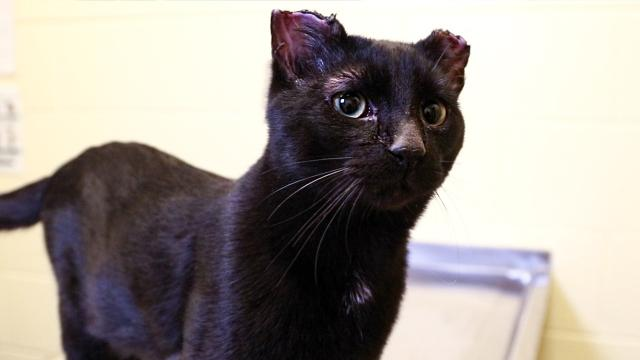 The Michigan Humane Society is treating a cat name Stanley who was found with parts of his ears and tail cut off.
