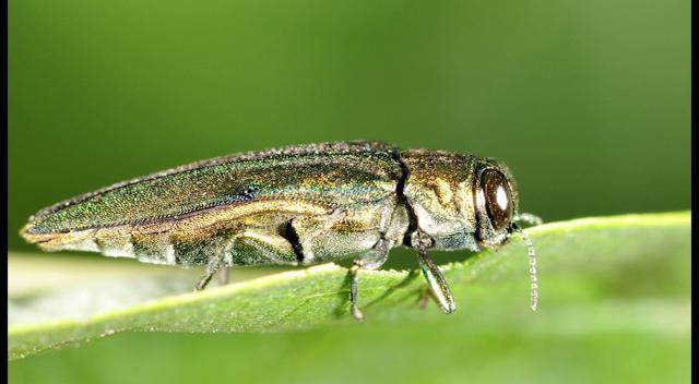 Invasive bugs wreak havoc on area trees