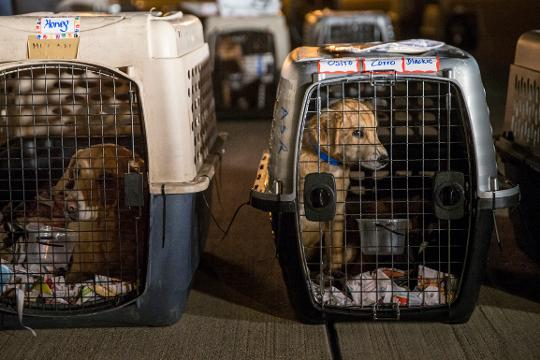 Nearly 100 dogs and cats from Puerto Rico arrived in Indianapolis to be sent to shelters in Indiana and surrounding states. They were in shelters before Hurricane Maria and were sent here to make room for pets separated from owners amidst disaster.
