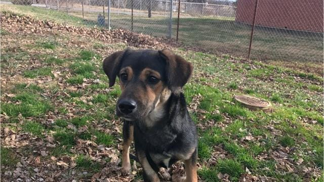 The 6-month-old black and tan shepherd mix is keenly interested in the world around her, energetic and very loving.