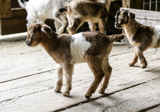 Nearly extinct arapawa goat kids born at Conner Prairie
