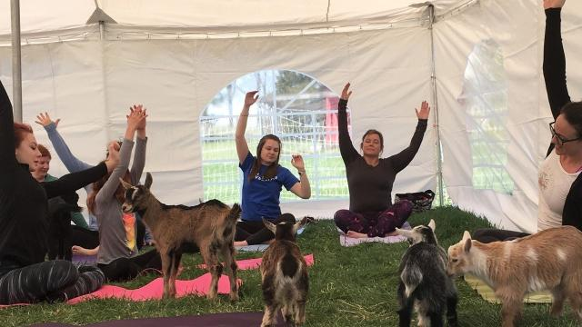 Holding yoga classes while surrounded by goats has now nuzzled its way into the Iowa City yoga scene.