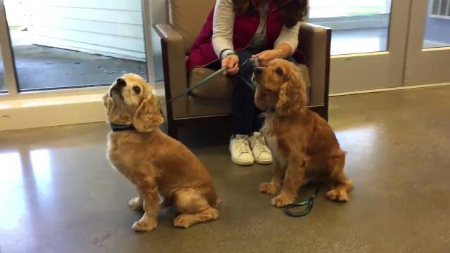 "Dublin the Boston terrier will play Spot in ""Shakespeare in Love,"" which will raise money for St. Hubert's. 10/30/17"