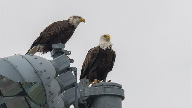 Bald eagles find home in Neptune