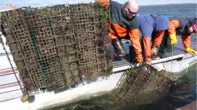 The winter ice dragged off Rose Cove's oysters and cages. By Dan Radel