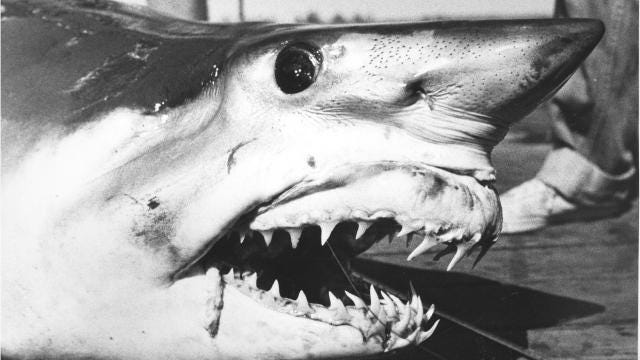 mary lee the great white shark where did she go