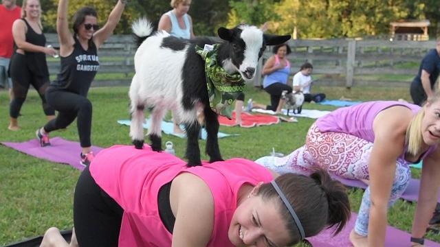 Goat Yoga Comes to Nasvhille