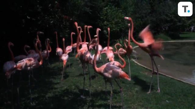 Flamingos at the Nashville zoo react to the solar eclipse