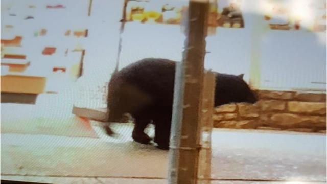 Black bear visits Gatlinburg candy shop