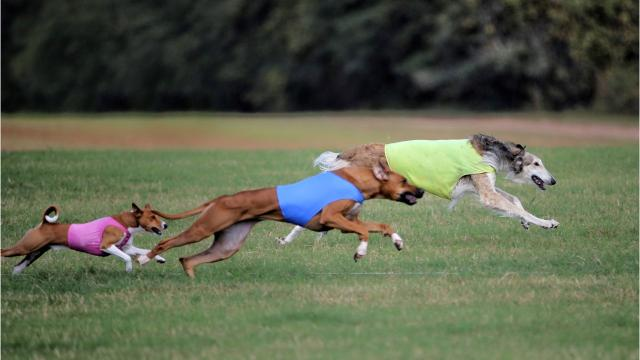Zayin the Rhodesian ridgeback recently claimed top honors at the prestigious 2017 American Sighthound Field Association International Invitational at Aragon Farms in Bainbridge, Ga.