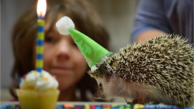 Fairview hedgehog celebrates second birthday in grand style.