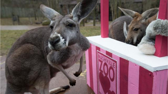 Kangaroos at Nashville Zoo celebrate Valentine's Day with a kissing booth as part of an enrichment activity. Enrichment activities help the animals express natural behaviors and are important for keeping the animals happy.