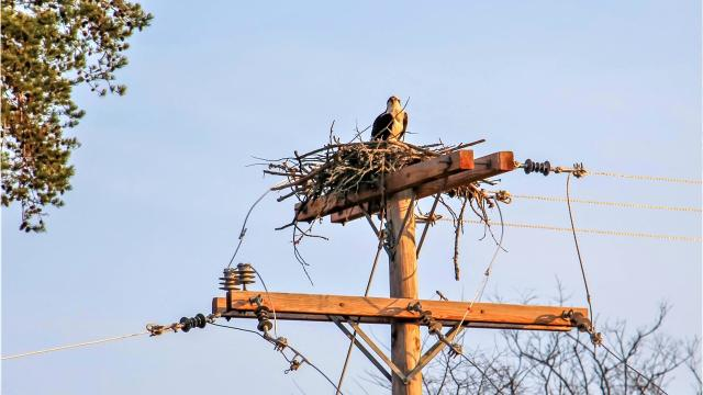 Farragut utility workers build platforms for ospreys to nest.