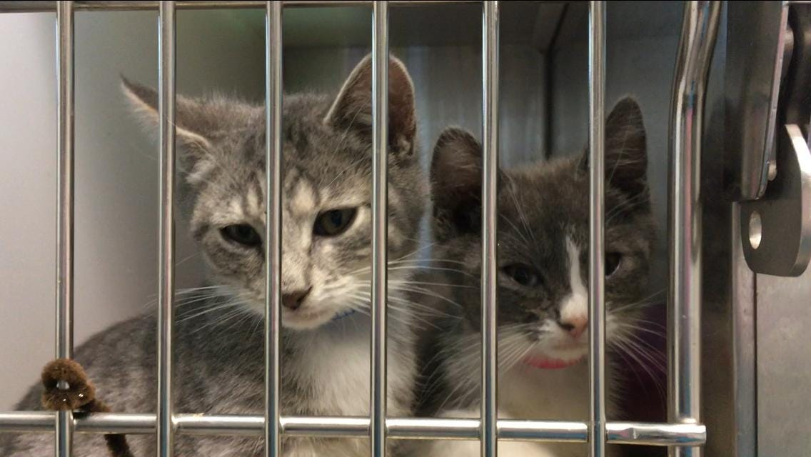 Adopt a cat free of charge at Lollypop Farm on June 29.