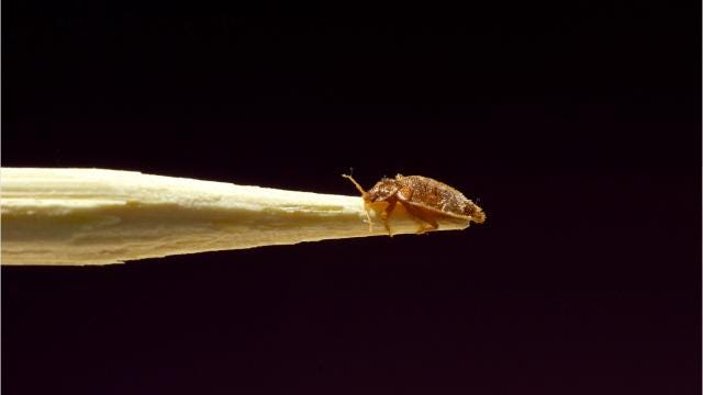 Bedbugs can be a challenge to address if they make their way into your house or business.
