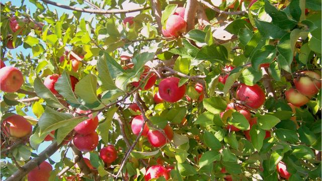 Ready To Pick Your Own Apples Here Are Some Top Spots