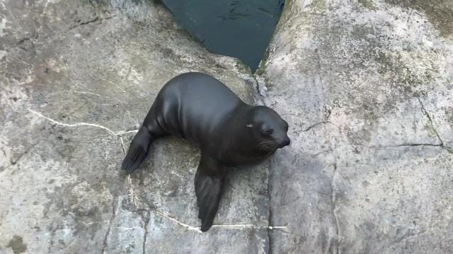 Bob is a California sea lion who lives at the Seneca Park Zoo with his mom, Lily. Watch what happens when two new sea lions join their habitat. (Nov. 12, 2017)