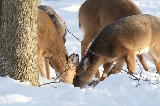 Affection and then fighting, a sneak peek at how animals are surviving the winter at Tinker Nature Park in Henrietta. (Jan. 16, 2018)