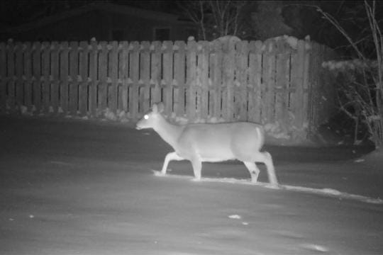 Footprints by day but at night a trail camera captures the wildlife that makes those tracks in a Brighton backyard.