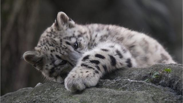 Watch a baby snow leopard cub frolic with her mother at the Wildlife Conservation Society's Bronx Zoo.