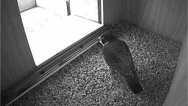 Tappan Zee happened Bridge: What happened Zee to peregrine falcons that nest there f105e1
