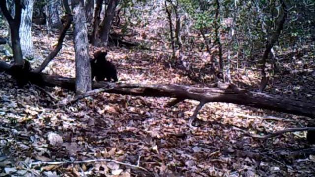 This mama and her four cubs were captured on video in Henderson County.