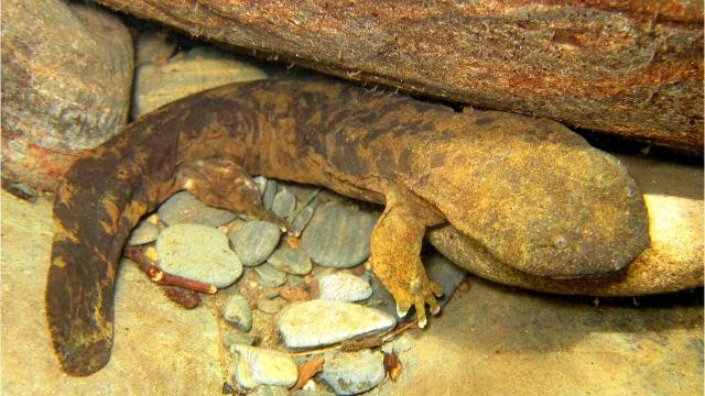 For such giants in the salamander world, Eastern hellbenders, which can grow up to 2 feet long, can be strangely hard to find in the game of hide and seek.