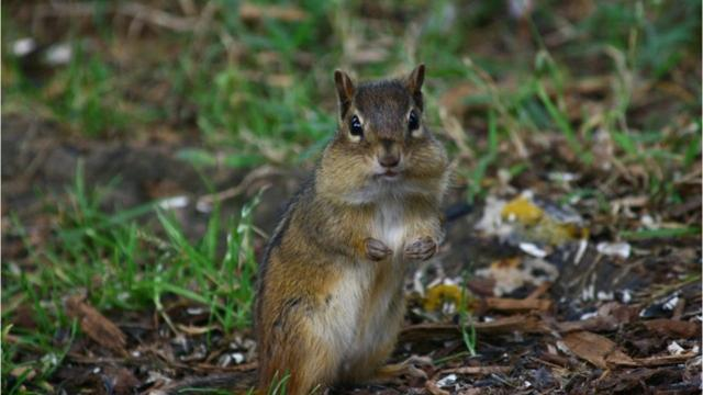 Where are all the chipmunks this spring?