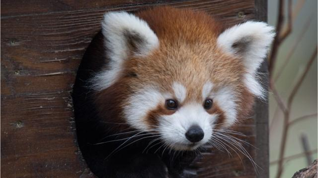 Red pandas will join bears, coyotes and other more common mountain inhabitants at the WNC Nature Center this fall.