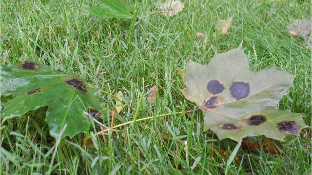 Maple tree leaves have been displaying tar spots or brown blotches along with the curling of leaves.