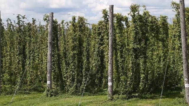 VIDEO: Hops in the Southern Tier