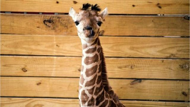 April The Giraffe S Son Tajiri Moves To New Home At Animal Adventure