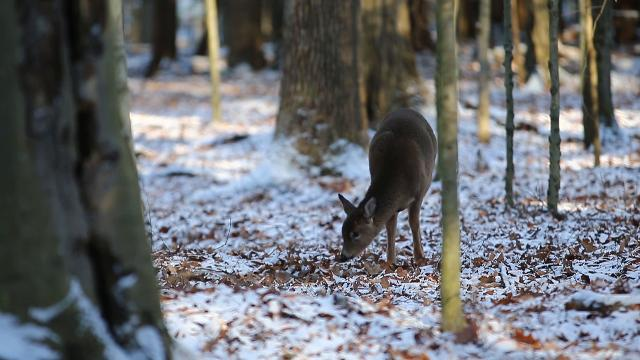 Binghamton University's Steward of Natural Resources, Dylan Horwath is concerned for the health of the forest at BU due to the large deer population on campus.