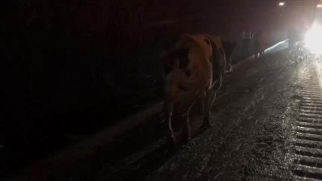 A group of cows wandered around Interstate 86 near Elmira early Friday morning. The cows escaped from a truck after an accident involving a second truck and a car. The crash blocked the interstate's eastbound lanes.