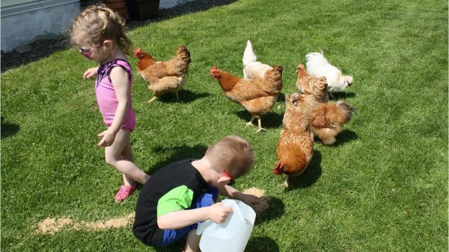 VIDEO: 7 tips for raising backyard chickens