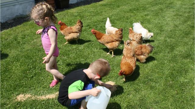 Want to raise your own chickens? Here's how.