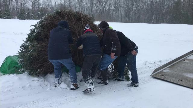 Arctic League volunteers cut down a Norway spruce tree Wednesday that was donated by Steve Matkosky of Catlin.