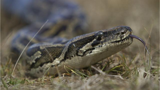 12 foot python in texas bathroom decor