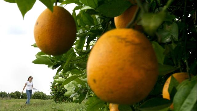 Lee County homeowners who lost citrus trees to Florida program to receive millions in payments 1