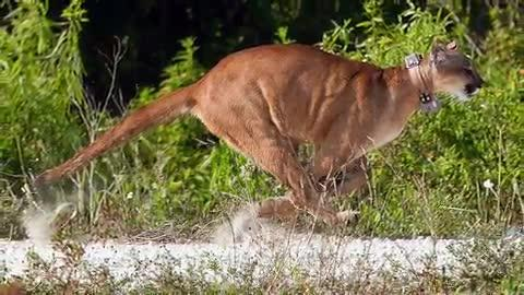 Florida panthers. Get an inside look at panthers in the historic Everglades.
