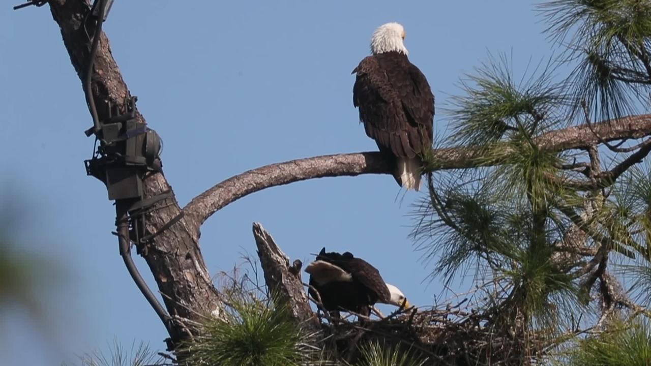 Famous North Fort Myers  eagle chicks E10 and E11 are three weeks old.