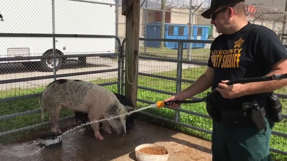 Pot-bellied pig caught by Lee Sheriff's Office going to auction
