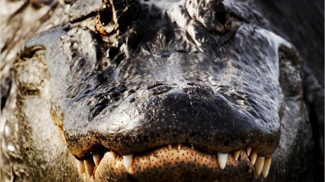 rare american crocodiles living on sanibel cape coral