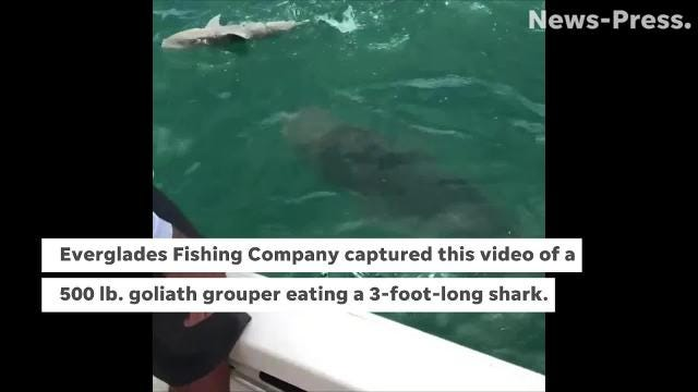 A 500-pound goliath grouper made a 3-foot-long shark its breakfast on July 12, 2018 in Everglades City. Everglades Fishing Company captured the excitement. (Video from Capt. Jimmy Wheeler, Everglades Fishing Company/www.evergladesfishingco.com)
