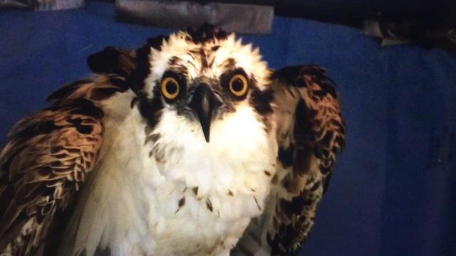 Osprey recovering